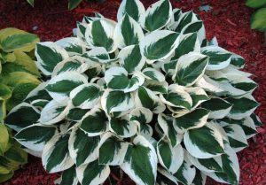 Patriot Hosta for Plants Under Pine