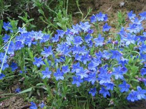 Purple Gromwell 'Heavenly Blue' Ground Cover Plant