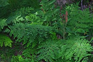 Royal Fern for Plants Under Pine