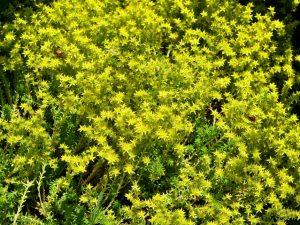 Sedum 'Angelina' Ground Cover Plant