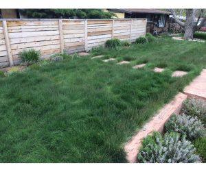 Sheep Fescue Drought-Tolerant Grass