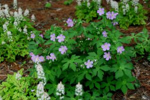 Spotted Cranesbill for Landscaping Under Pine Trees