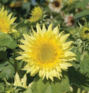 Starburst Lemon Aura Sunflower
