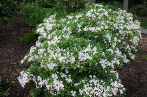 Sweet Azalea for Landscaping Under Pine Trees
