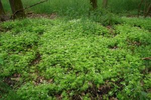 Sweet Woodruff Ground Cover Plant