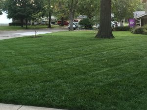 Tall Fescue Drought-Resistant Grass
