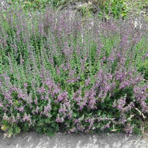 Wall Germander Ground Cover Plant