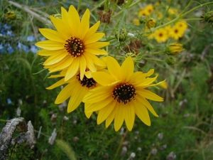 Willow-Leaved Sunflower