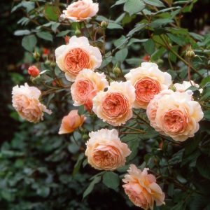 A Shropshire Lad English Rose