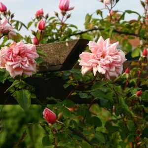 Albertine Rambling Rose
