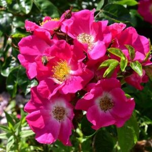 American Pillar Rambling Rose