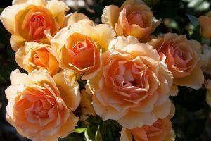 Anne Harkness Floribunda Rose