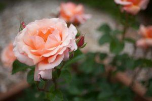 Apricot Candya Hybrid Tea Rose