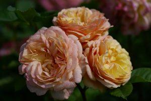 Charles Austin English Rose