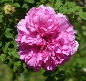 Chestnut Wild Rose