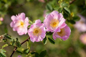 Climbing Wild Rose