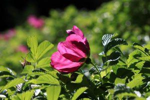 Common Wild Rose