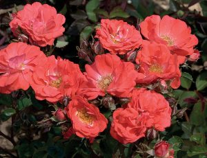 Coral Drift Ground Cover Rose