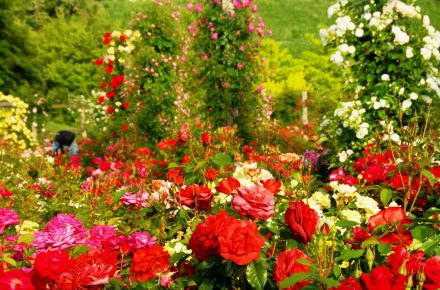 Different Types of Rose Bushes