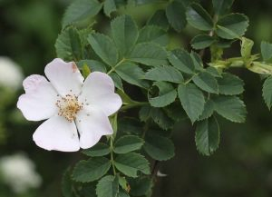 Field Wild Rose