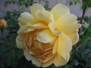 Golden Celebration English Rose