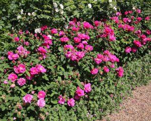 Hybrid Gallica Old Garden Rose