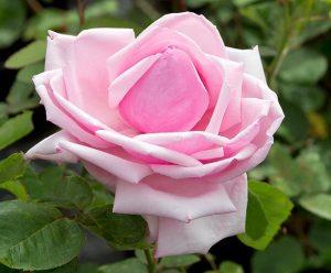 La France Hybrid Tea Rose