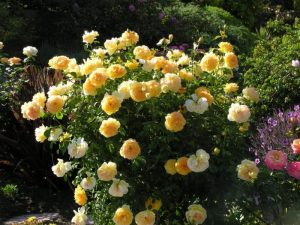 Mollineux Shrub Rose