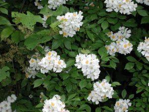 Multiflora Wild Rose