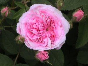 Old Garden Alba Rose