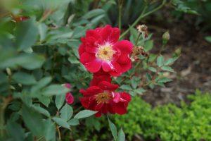 Old Garden Bermuda Mystery Rose