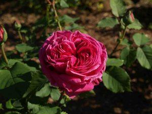 Old Garden Bourbon Rose