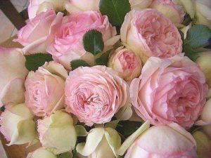 Old Garden Cabbage Rose