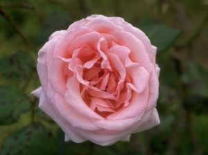 Old Garden Centifolia Rose