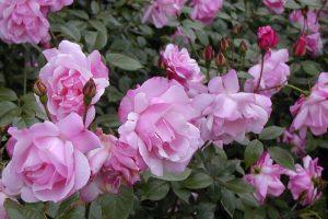 Old Garden China Rose