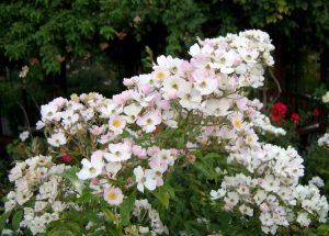 Old Garden Hybrid Musk Rose