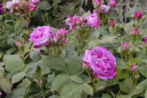 Old Garden Hybrid Perpetual Rose
