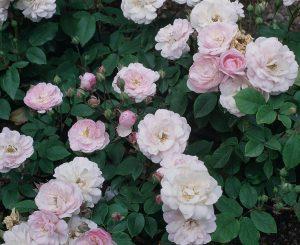 Old Garden Noisette Rose