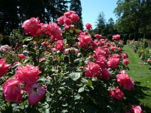 Old Garden Portland Rose