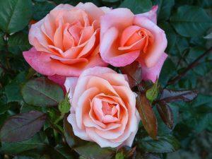 Old Garden Tea Rose