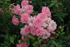 Pink Fairy Polyantha Rose