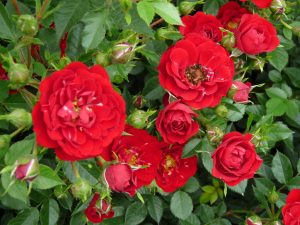 Red Fairy Polyantha Rose