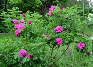 Rugosa Wild Rose