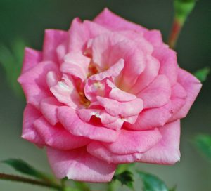 Sugar Baby Miniature Rose
