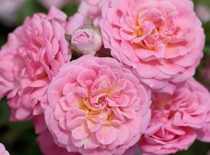 Sweet Drift Ground Cover Rose