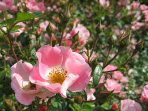 Sweetbriar Wild Rose