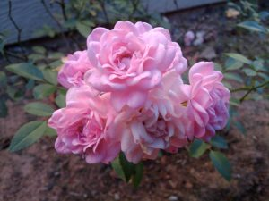The Fairy Polyantha Rose