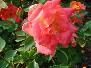 Tom Thumb Miniature Rose