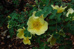 Wild Austrian Briar Rose