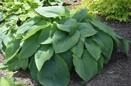 Empress Wu Hostas
